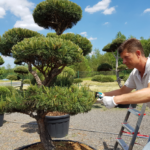 Doplňte okolí vaší firmy o tvarovaný okrasný strom